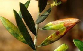Estudio acerca del repilo plomizo o emplomado en olivar